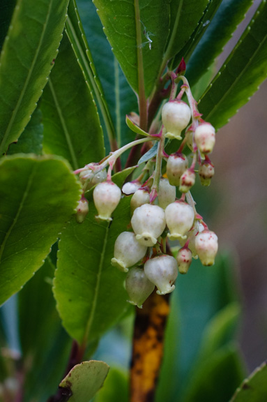 Strawberry Tree flower (Arbutus unedo)