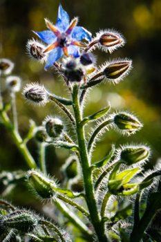 Borage (Borago officinalis) - blooming in November. Bees love it.