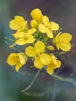 Brassica flower - probably kale. I always let a few flower for the bees.
