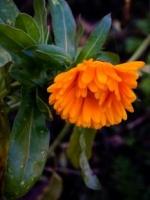Calendula (Calendula officinalis) - blooming in November, altho a bit rain-soaked!
