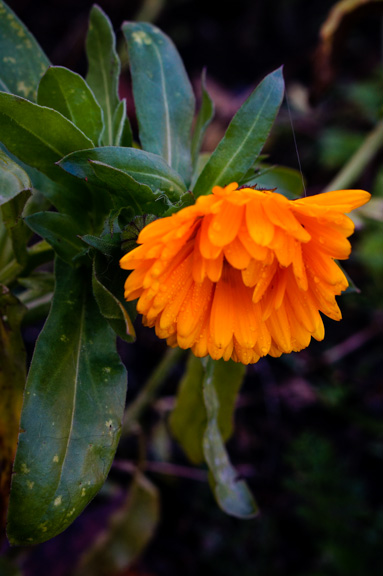 Calendula (Calendula officinalis) - blooming in November, altho a bit rain-soaked!