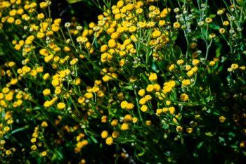 Costmary, Tanacetum balsamita