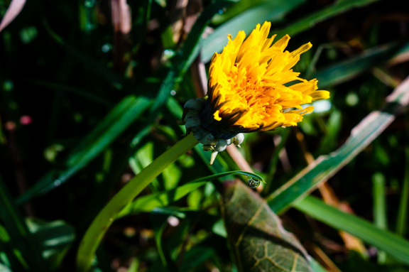 Dandelion blooming in November at Barbolian Fields