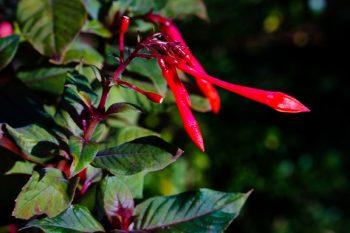 Fuschia, a hummingbird favorite