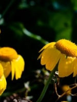 Golden Margeurite, Anthemis tinctoria