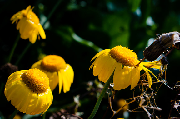 Golden Margeurite, Anthemis tinctoria