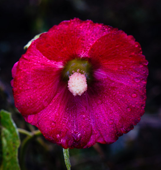Hollyhock (Alcea rosea), blooming in November