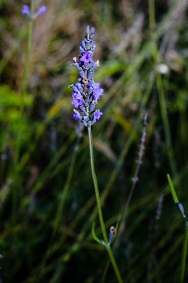 Lavender (Lavandula angustifolia), blooming in November!!!