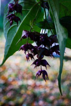 Himalayan honeysuckle / Treacle tree: Leycesteria formosa