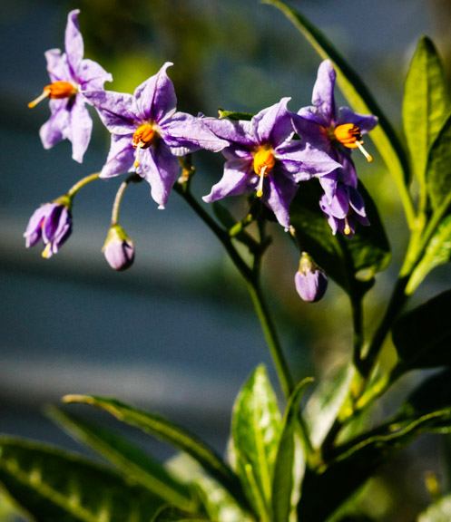Potato Vine - Solanum spp
