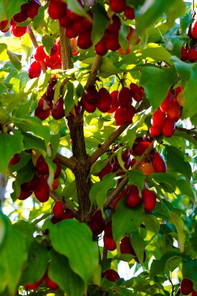 Cornelian Cherries (Cornus mas)
