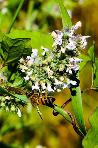 Honey bee on oregano blossom