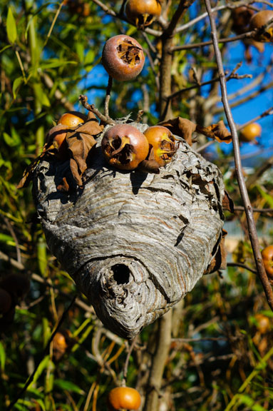 Bald-faced hornet nest in medlar tree.