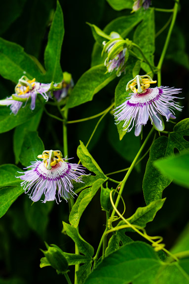 Passion flowers in the greenhouse (Passiflora spp.)