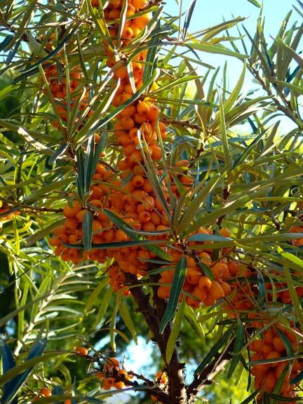 Sea buckthorn berries, aka sea berries (Hippophae rhamnoides)
