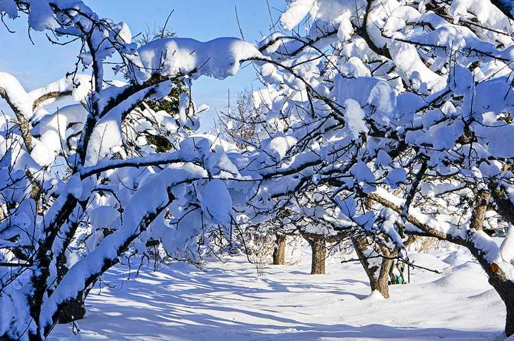 Sun hits snow in the orchard - oh my!