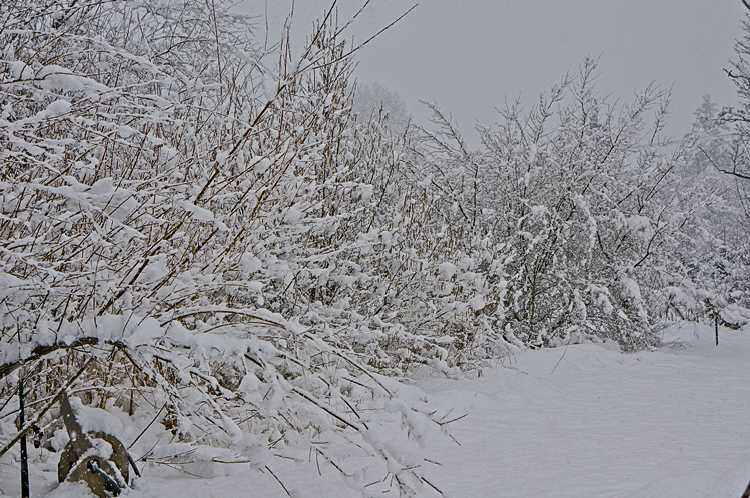 Snow-laden shrubs along path