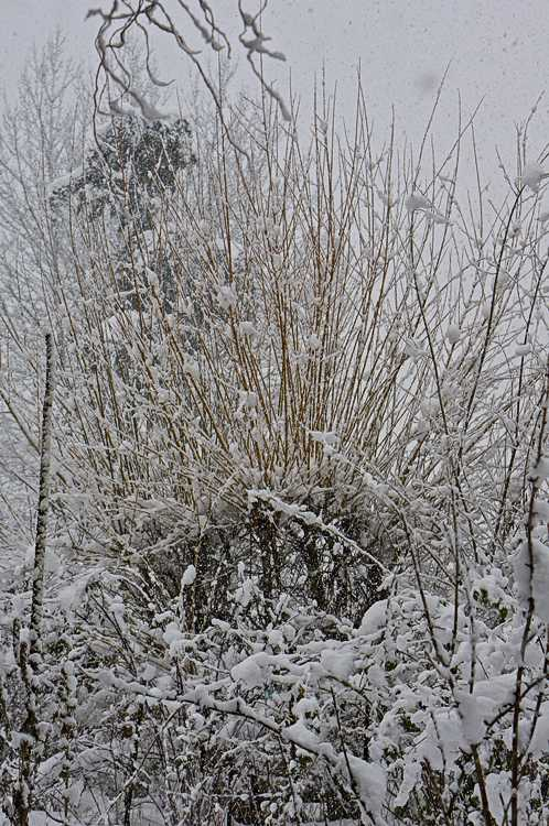 Snowstorm and willows in the garden, somewhere in all that snow