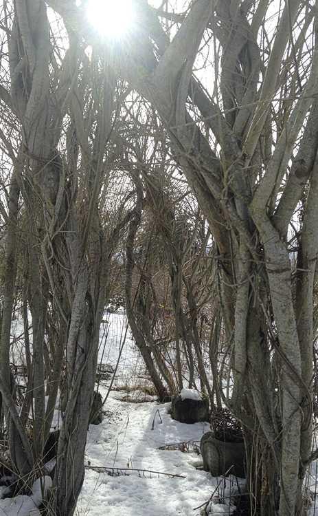 Willow room in winter