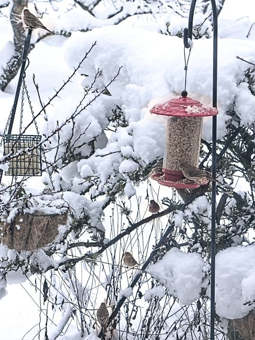 backyard birds waiting for snow to melt
