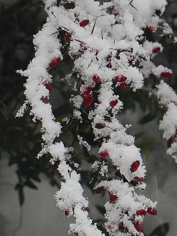 berberis under snow