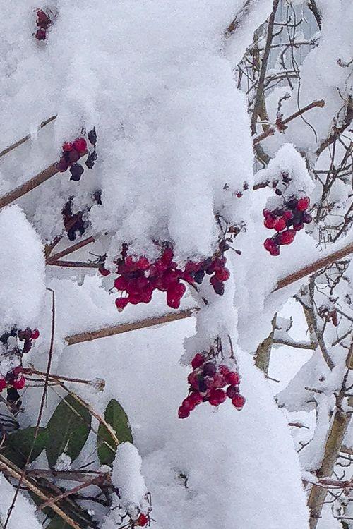 Highbush cranberries under snow