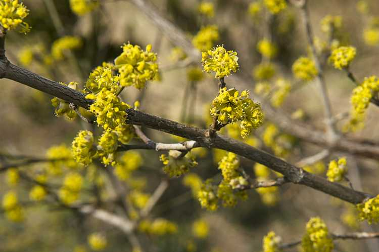 March Cornelian Cherry Blossoms