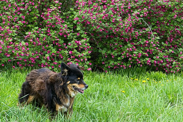 Barkley by Red Flowering Currants