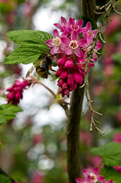 Bumble in Red Flowering Currants