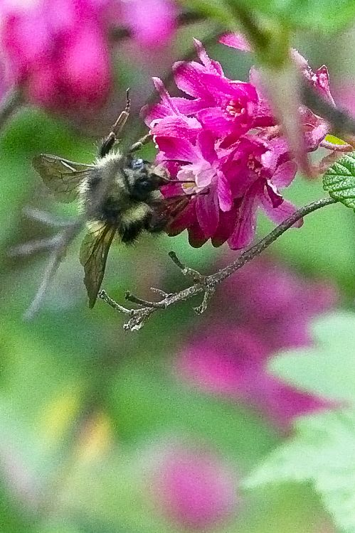 Bumblebee on Red Flowering Currant