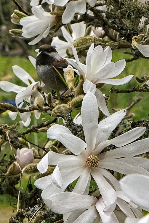 Chickadee Look-out in Magnolias
