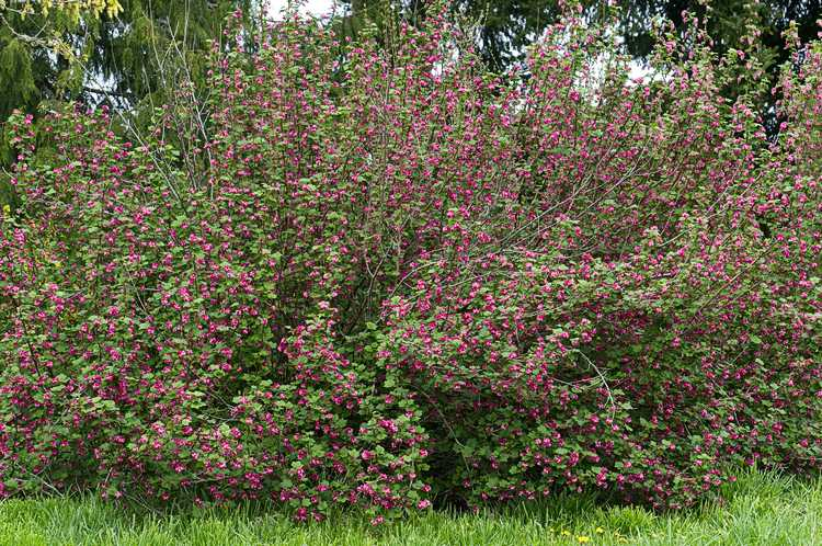 Huge Red Flowering Currant Shrub