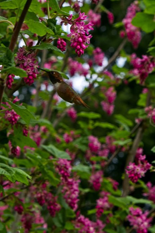 Hummingbird in Red Flowering Currants