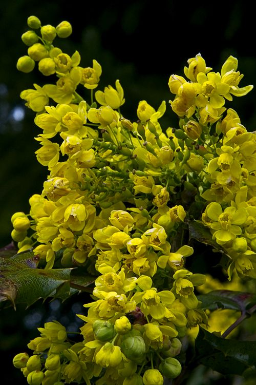 Mahonia-Oregon Grape