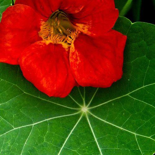 Nasturtium Flower - Radial Leaf