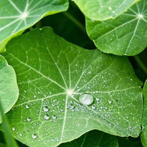 Rain on Nasturtium Leaf
