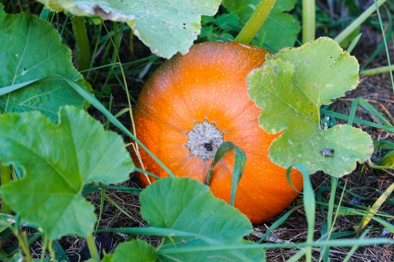 October pumpkin at Barbolian Fields