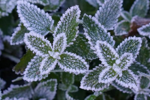 Frost on Catmint at Barbolian Fields