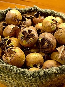 Hat full of medlars (Mespilus germanica)