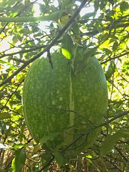 Malabar squash hanging from tree