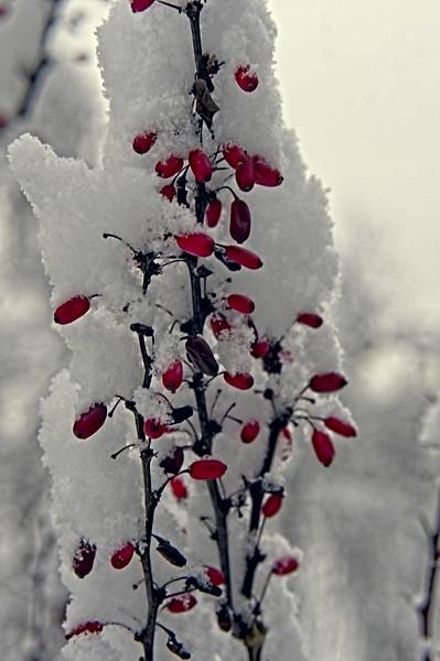 Berberis berries in snow
