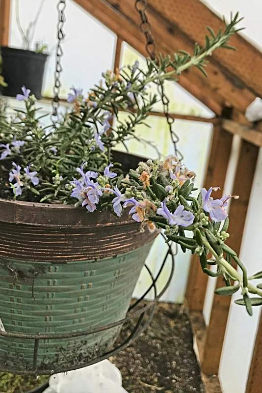 Rosemary blooming in January