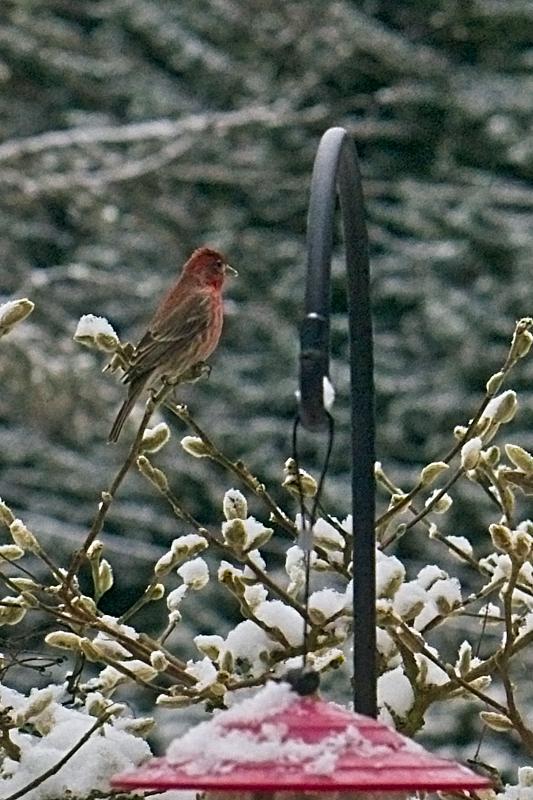 Rosy finch near feeder