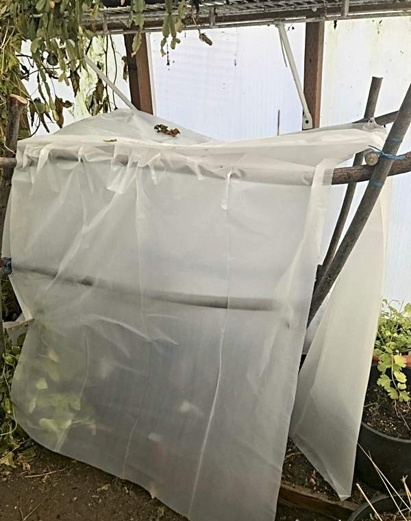 Tent using tomato frame in Winter Greenhouse