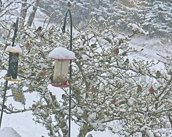 Shrub full of finches in a snowstorm