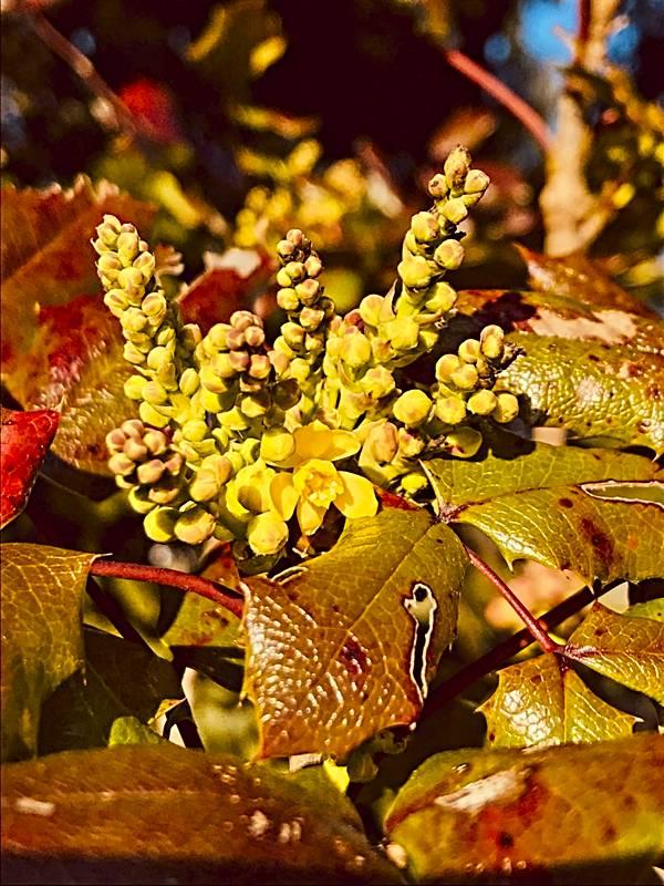 Mahonia or Oregon Grape