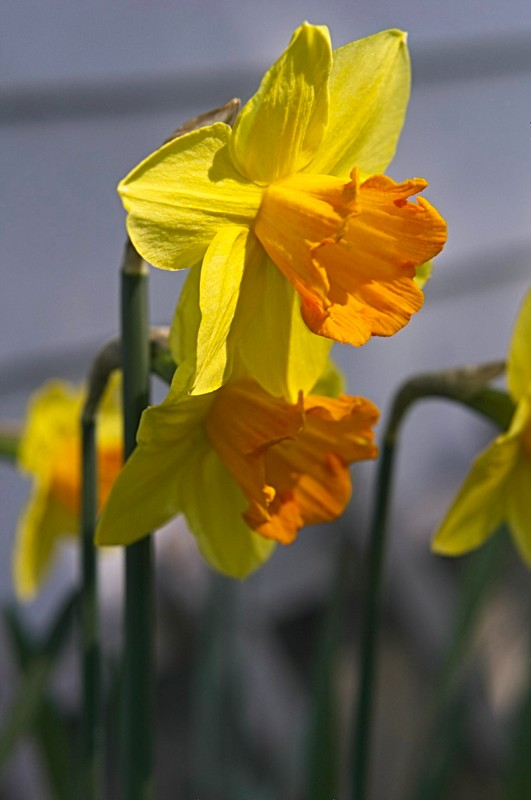 Daffodils are definitely signs of spring!
