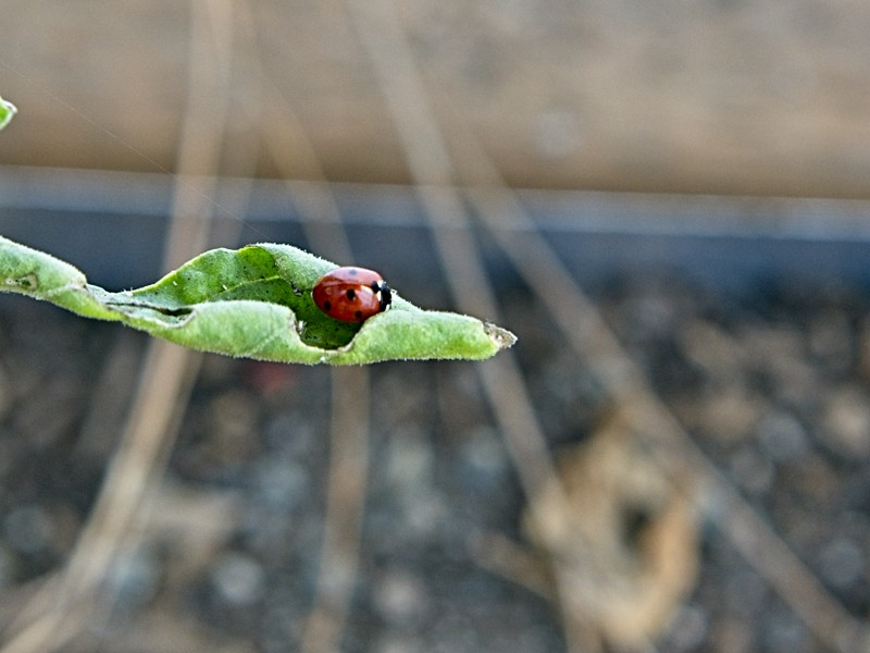 Sweet ladybug! - more signs of spring!