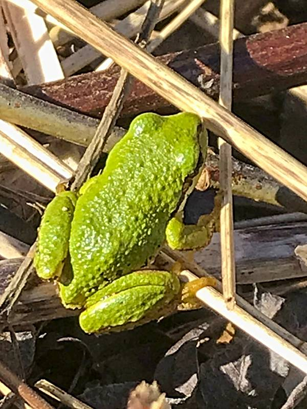 Little green frogs: sure signs of spring