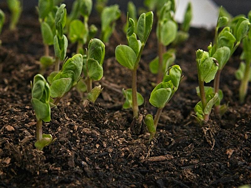 Pea sprouts are always signs of spring!